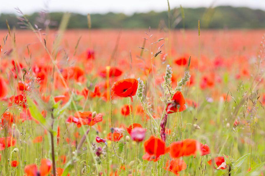 Klaprozen veld in Engeland