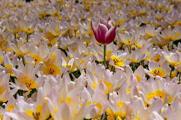 Tulpen in de Keukenhof sur Lindi Hartman