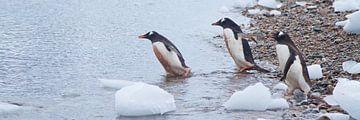 gedrieën de zee in, een trend bij deze vogels von Eric de Haan