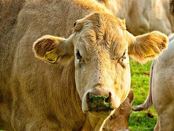 Bruine koe van Jessica Berendsen