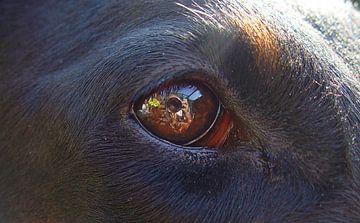 Hondenoog sur Coen de Haan