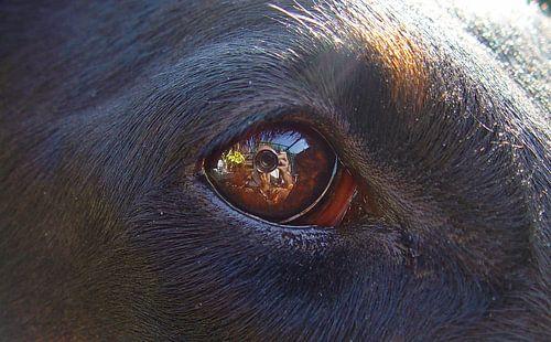Hondenoog van