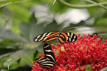 Zwei Schmetterlinge  von Jop Fotografie