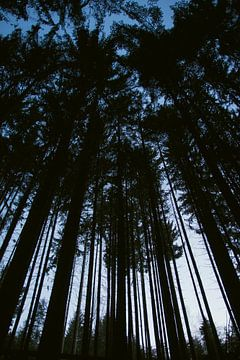 Hoge bomen in de Vogezen von