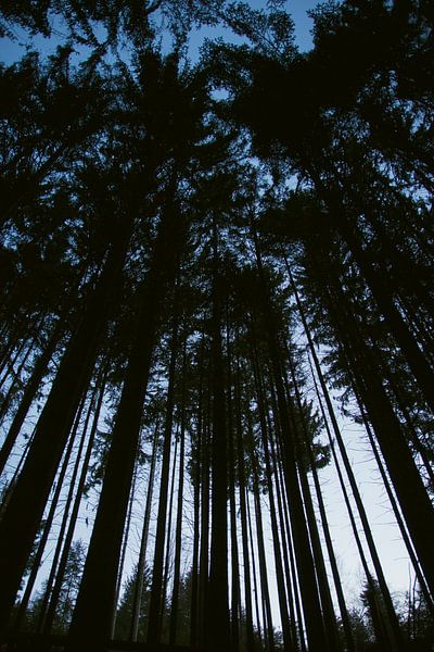 Hoge bomen in de Vogezen van Jeanine Verbraak