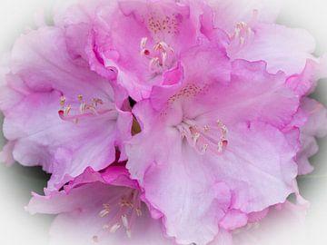 Rodondendron bloemen van Bob de Bruin