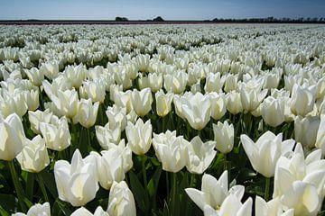 veld met witte tulpen von Arjen Schippers