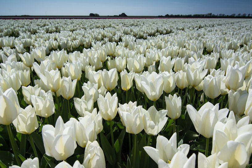 veld met witte tulpen van Arjen Schippers