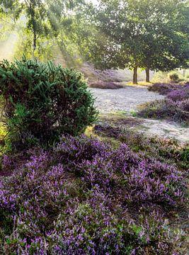 Bloeiende heide in zonsopkomst op de Veluwe van Martijn Joosse