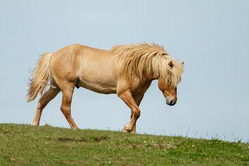 IJslands Paard von Menno Schaefer