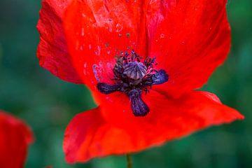 Kleur van de Liefde van Lilisphotography