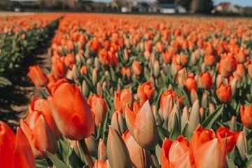 Tulpen in de polder van Maria elican