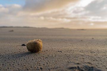 Ameland, zee-egel aangespoeld op het strand in de zon van henry hummel