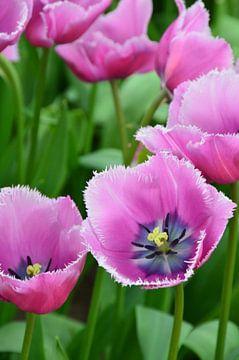 Tulipa soft Purple van Marcel van Duinen