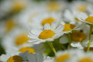 voorjaarsbloemen von Joke te Grotenhuis