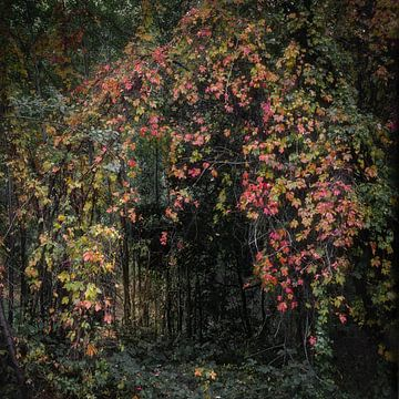 Een poort van wilde Wingerd in het bos