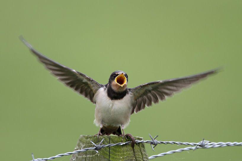 Zwaluw van Menno Schaefer