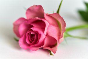 Roze roos van Ad Jekel