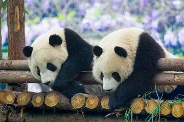 Panda van Pieter De Wit
