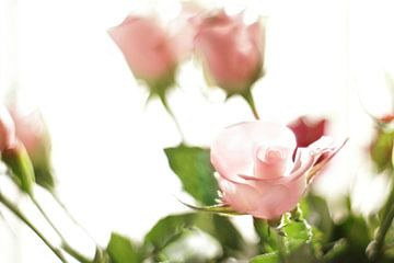 Roses sur Marianna Pobedimova