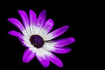 paars witte bloem met druppels op zwarte achtergrond von Wilco Bos