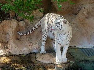 Een mooie bengaalse tijger die zijn/haar tong uitsteekt. A Beautiful Bengal Tiger sticking out its t