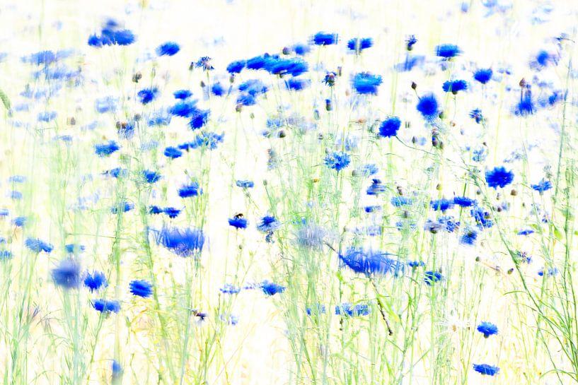 cornflowers, painted with light van jowan iven