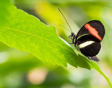 Zwarte vlinder met witte en oranje streep op groen blad van Esther van Lottum-Heringa