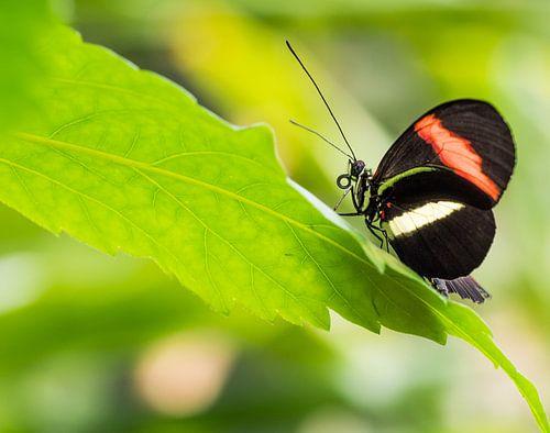 Zwarte vlinder met witte en oranje streep op groen blad
