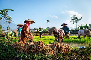 Nieuwe rijst planten van Ellis Peeters