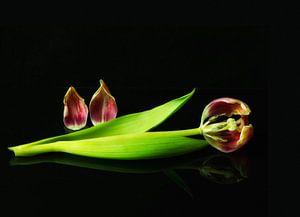 Het einde van een tulp van
