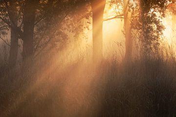 Prachtige zonneharpen creëren een sprookjesachtige sfeer in het bos van Eelco de Jong