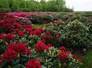 Rote Rhododendronbüschen von Wieland Teixeira