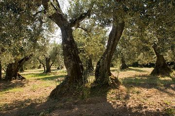 Oude olijfbomen. van Rens Kromhout