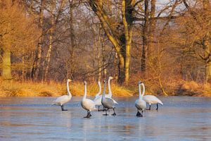 Wilde zwanen, dansend op het ijs