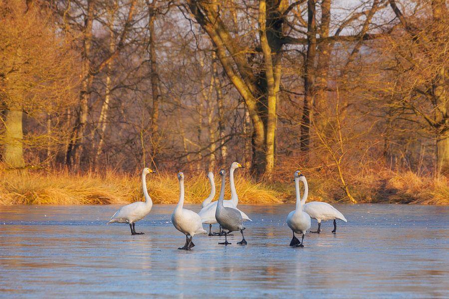 Wilde zwanen, dansend op het ijs van Karla Leeftink