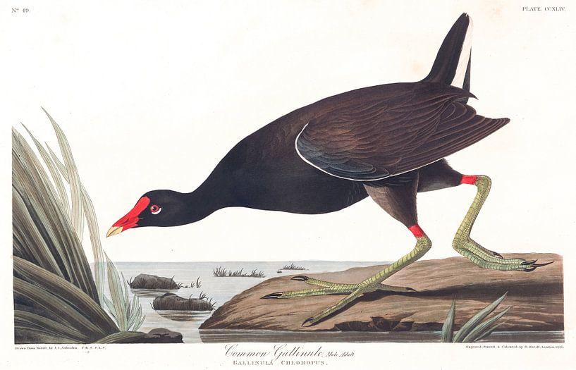 Amerikaans Waterhoen van Birds of America