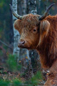 Schotse hooglander 2 van eric joosten