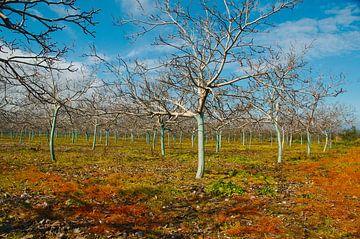 Walnoot boomgaard met blauw geverfde stammen van Peter Schoo