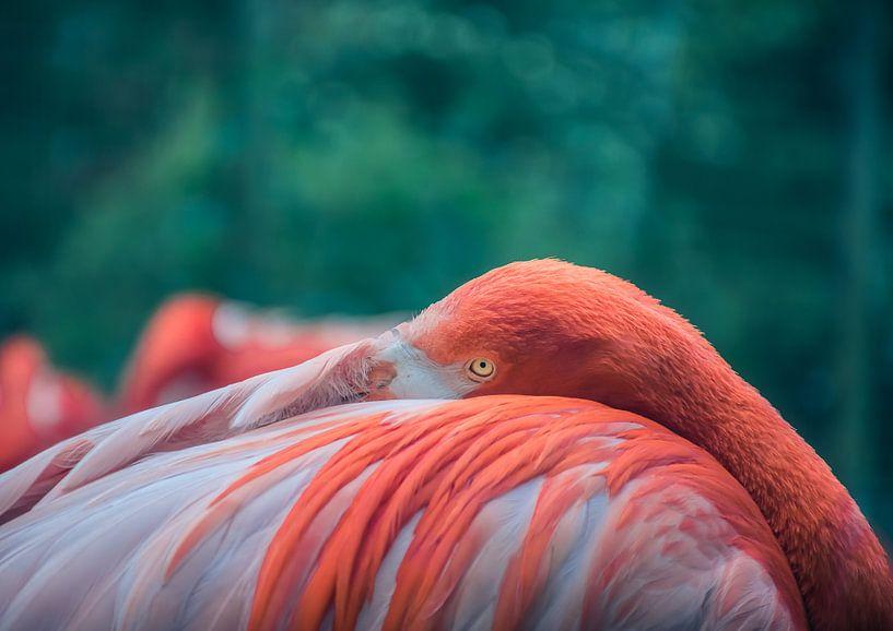 Lief flamingo van Tomasz Baranowski
