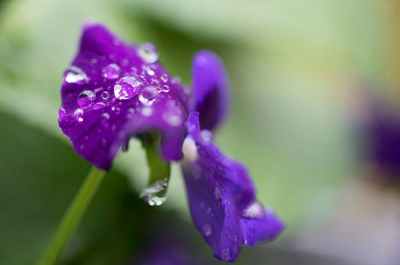 Violin with rain drops sur Julien Willems Ettori