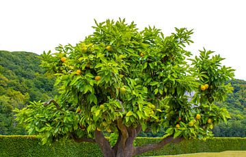 Orangenbaum von Rutmer Visser