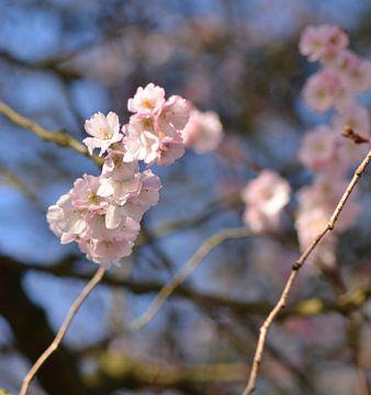 Japanse kers van Marian Steenbergen