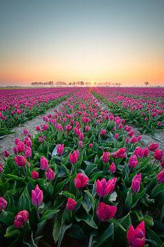Champ de tulipes au lever du soleil sur Coen Janse