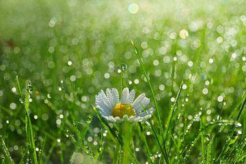 Madeliefje in gras von Michel van Kooten