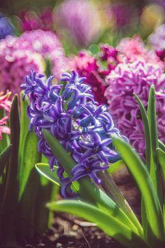 Hyacinten van Steffen Gierok