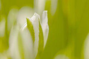 Weiße Blume in Knospe von Connie de Graaf
