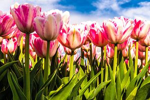 Wit roze tulpen tegen een blauwe hemel van