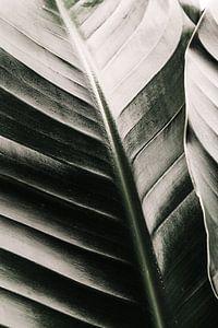 Botanische grüne Bananenpflanze, Strelitzia nicolai von Leanne Remmerswaal