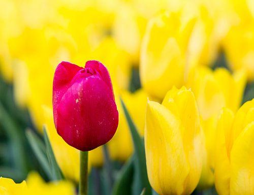 Rode tulp tussen gele tulpen van